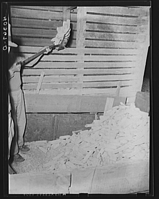 Lancaster County, Pennsylvania. Shoveling corn into a crib on the Enos Royer farm