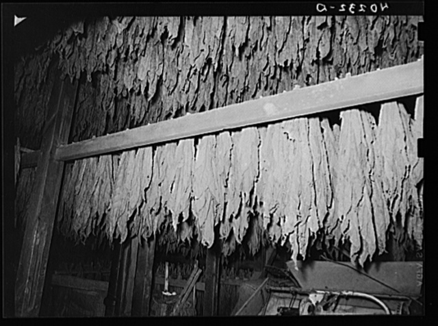 Lancaster County, Pennsylvania. Tobacco hanging in the tobacco barn on the Enos Royer farm.