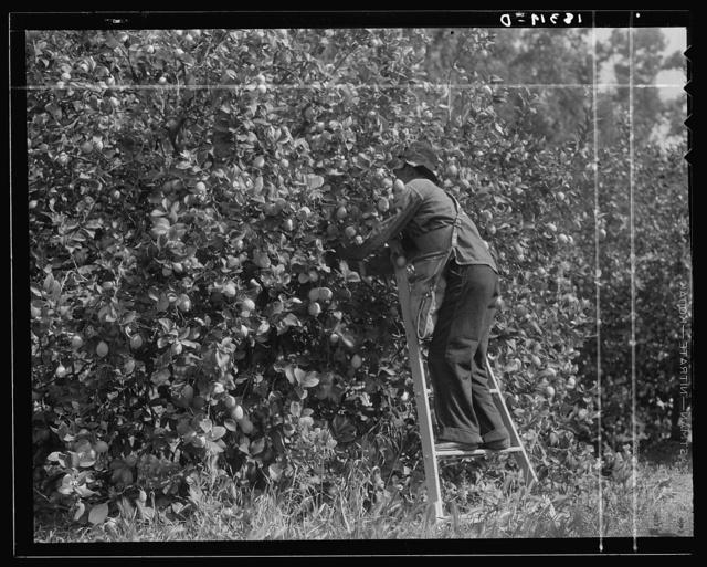 Lemon picking in southern California. Riverside County