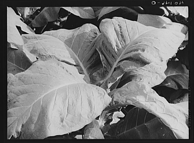 Lititz (vicinity), Lancaster County, Pennsylvania. Tobacco plant on the farm of C.F. Minnich
