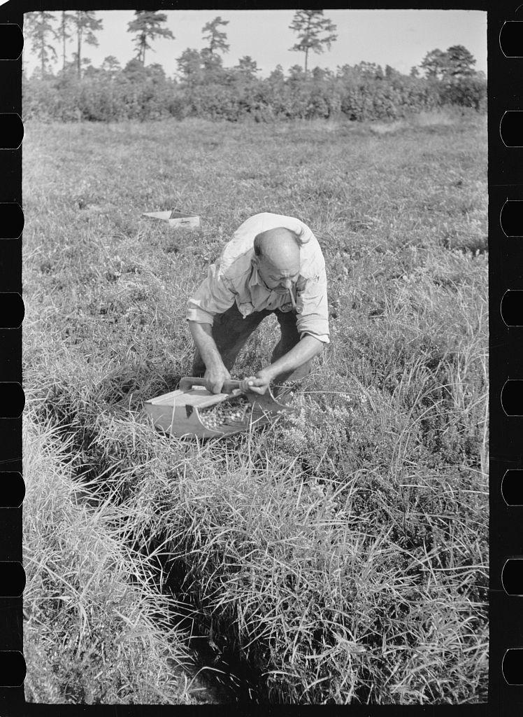 Man scooping cranberries, Burlington County, New Jersey