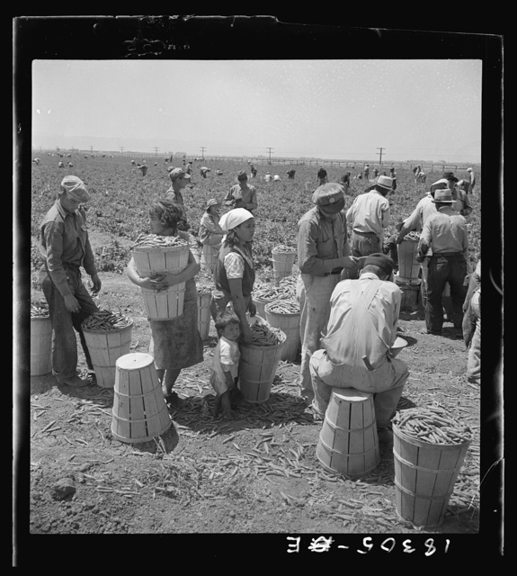 Migrant pea pickers from many states line up with their filled hampers on the edge of the field. They wait their turn for weighing. Near Westley, California