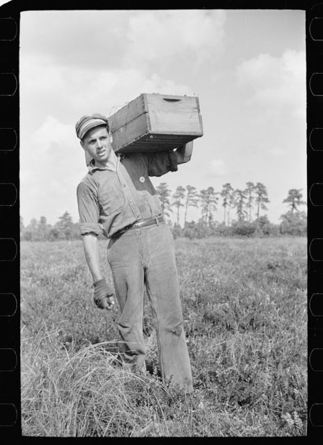 Migratory worker with load of cranberries, Burlington County, New Jersey