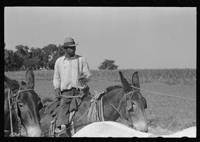 Mule driver of sugarcane plantation near New Iberia, Louisiana