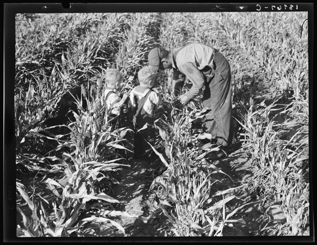 Near Manteca, California. Formerly rehabilitation client harvesting milo maize. Now operating own farm under Tenant Purchase Act. A year and a half ahead on their payments. Average loan for purchase of farm and improvements in San Joaquin County is seven thousand four hundred and sixty-five dollars