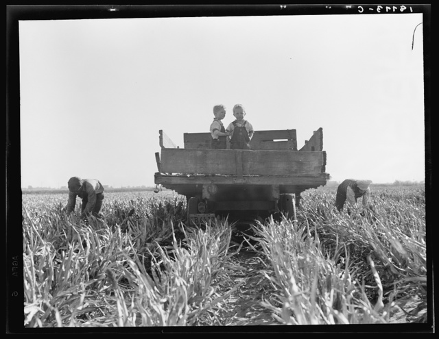 Near Manteca, California. Formerly rehabilitation clients, now operating own farm under Tenant Purchase Act. A year and a half ahead on their payments. Family labor harvesting milo maize. Average loan for purchase of farm and improvements in San Joaquin County is seven thousand four hundred and sixty-five dollars