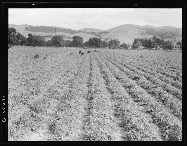 Near Tracy, California. Gang of Filipinos in pea field