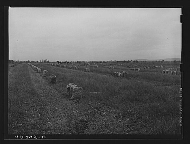 New England hurricane. Onion field near Hadley, Massachusetts