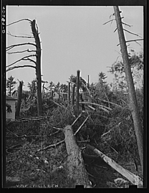 New England hurricane. Pine wood lot near North Brookfield, Massachusetts