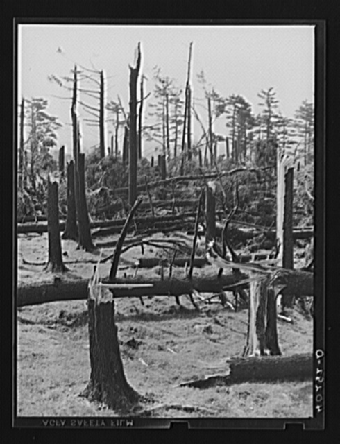 New England hurricane. Pine wood lot near Worcester and Amherst, Massachusetts