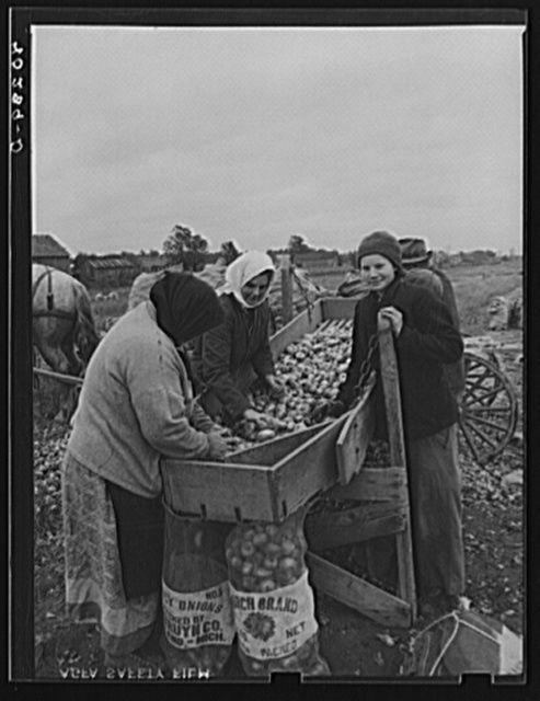 New England hurricane. Salvaging onions near Hadley, Massachusetts