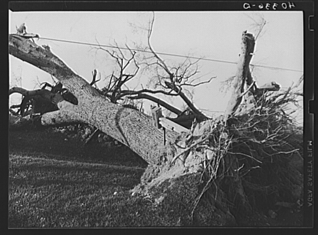 New England hurricane. Tree down on H.L. Beer's place near Worcester, Massachusetts