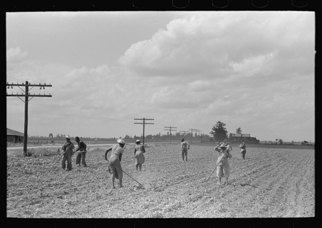 New Madrid County, Missouri. Sharecroppers chopping cotton, Southeast Missouri Farms