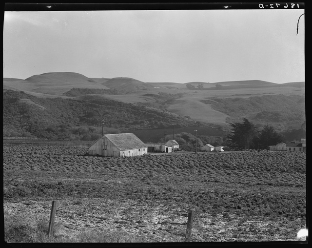 November 14, 1938. Near Half Moon Bay, California. Artichoke ranch