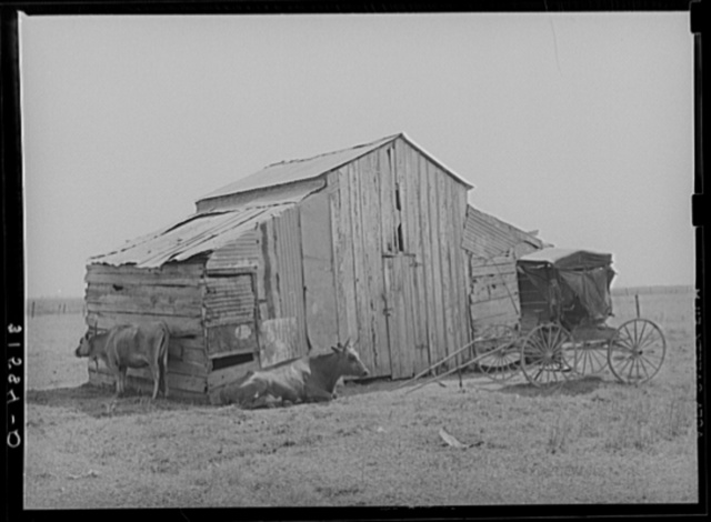 Old barn, cow and buggy, near Lafayette, Louisiana. This buggy is in everyday use, and it is not unusual to see several buggies on the streets in town