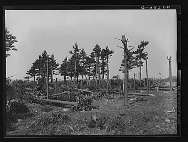 Pine wood lot near Worcester and Amherst, Massachusetts