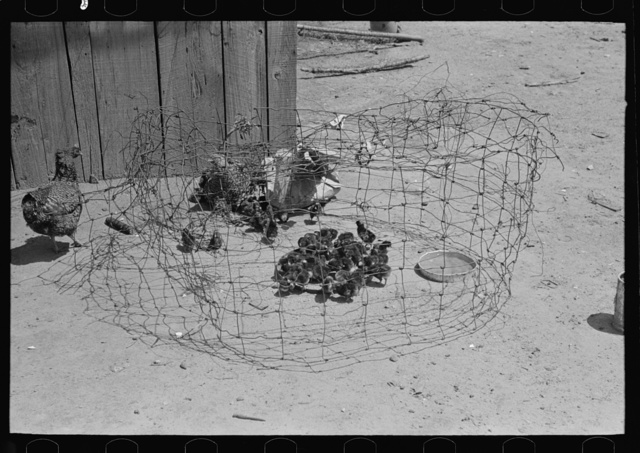 Primitive coop for chicks, Southeast Missouri Farms