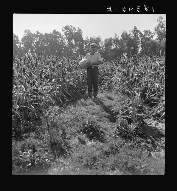 Rehabilitated small farmer in field of milo maize, Tulare County, California. This family has been granted an Farm Security Administration loan of thirteen hundred dollars after struggling for eleven years on sixteen acres of poor land