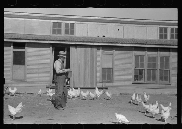 Rehabilitation client feeding chickens. Ottawa County, Kansas