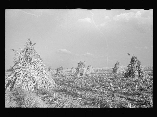 Sorghum cane. Shawnee County, Kansas