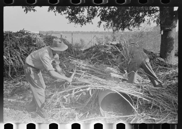 Stripping sorghum prior to crushing. Sorghum mill at Lake Dick Project, Arkansas