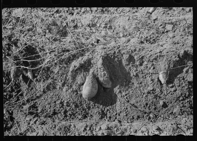 Sweet potatoes in field after being turned over by plow near Laurel, Mississippi