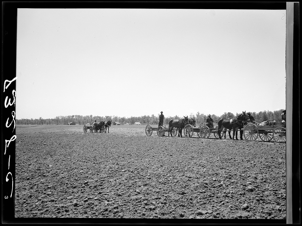 The end of the line of one hundred thirty Negro farmers with mule teams who are buying their cotton seed and other supplies cooperatively at Roanoke Farms, North Carolina