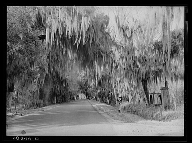 Typical highway near Summerville, South Carolina, with heavy hanging Spanish moss
