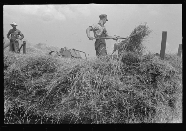 Wheat harvest in the field. Feeding the thresher, central Ohio (see general caption)