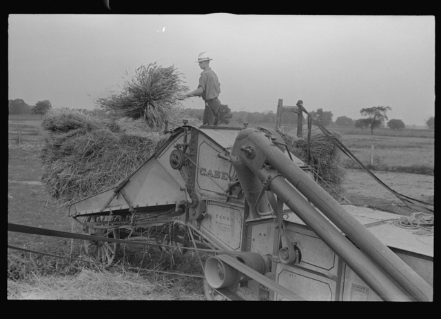 Wheat harvest; in the field feeding the thresher, central Ohio (see general caption)