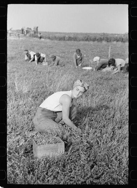 Woman picking cranberries, Burlington County, New Jersey