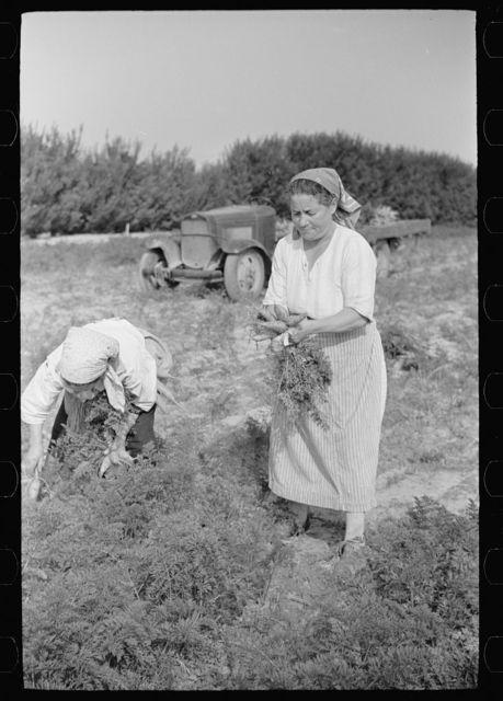 Women picking carrots, Camden County, New Jersey