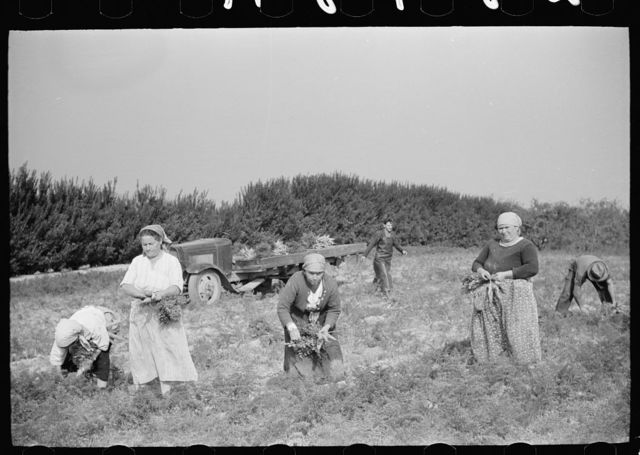 Women picking carrots. These women come from the Italian section of Philadelphia to work on the large truck farms in Camden County, New Jersey