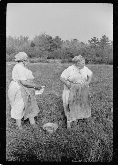 Women picking cranberries, Burlington County, New Jersey