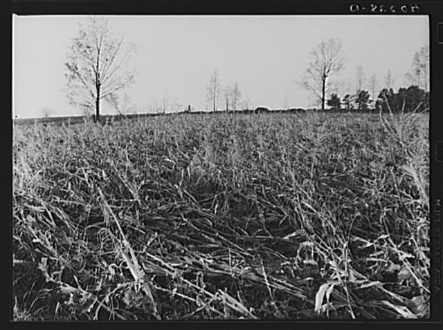 Worcester (vicinity), Massachusetts. A cornfield on the farm of H.L. Beers laid flat by the New England hurricane