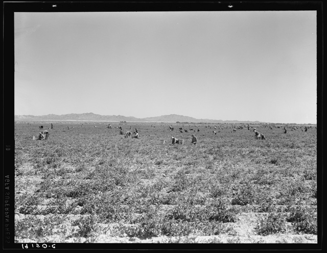 500 pea pickers in field of large-scale Sinclair ranch, newly planted to peas. Near Calipatria, California