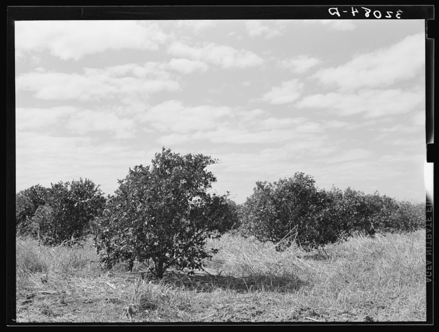 Abandoned citrus grove near Weslaco, Texas. Note the great amount of underbrush. There are several of these abandoned groves in this section, due to lack of finances for cultivation and irrigation. There is also much absentee ownership in the citrus industry