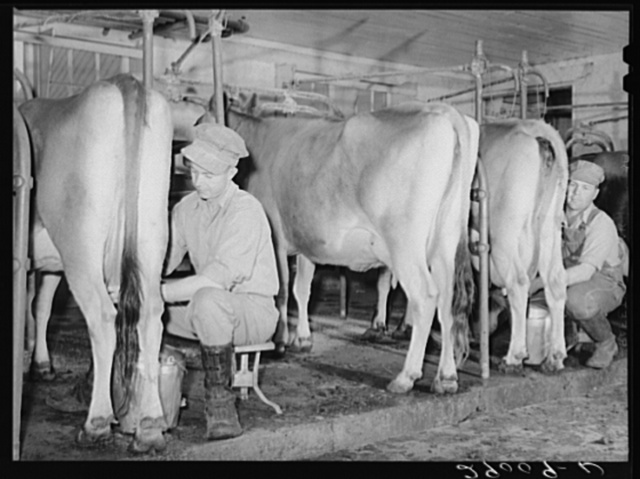 Accurate records are kept of each cow's milk production. Hillview Cooperative, Osage Farms, Missouri