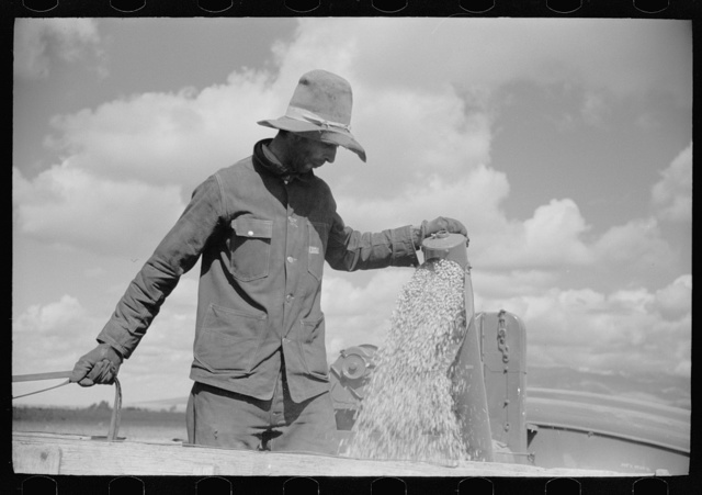 Apolinar Rael, rehabiliation client, harvesting beans, Costilla County, Colorado, near Fort Garland