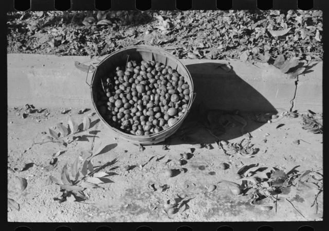 Basketfull of pecans, San Angelo, Texas