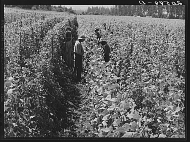 Bean pickers at harvest time. Pickers in foreground came from South Dakota. Oregon, Marion County, near West Stayton