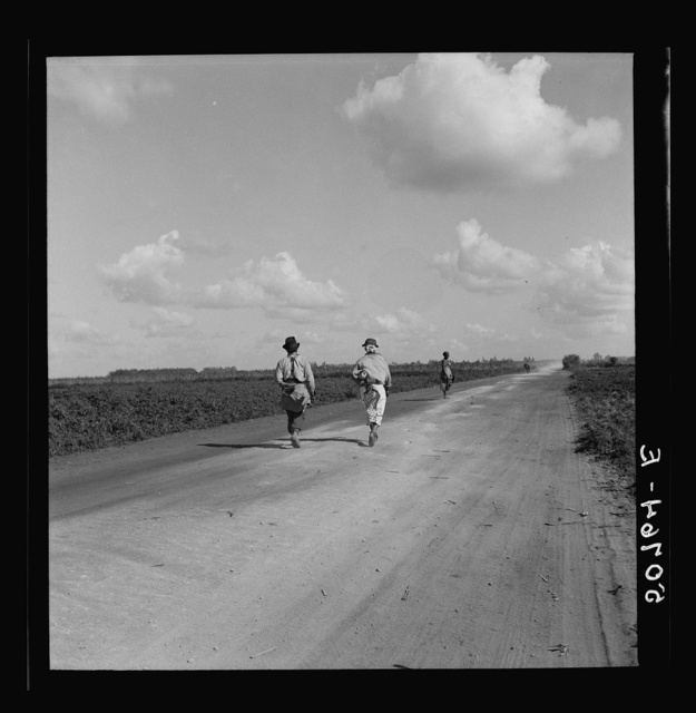 Belle Glade, Florida. Pea pickers