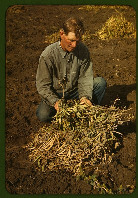 Bill Stagg, homesteader, with pinto beans, Pie Town, New Mexico