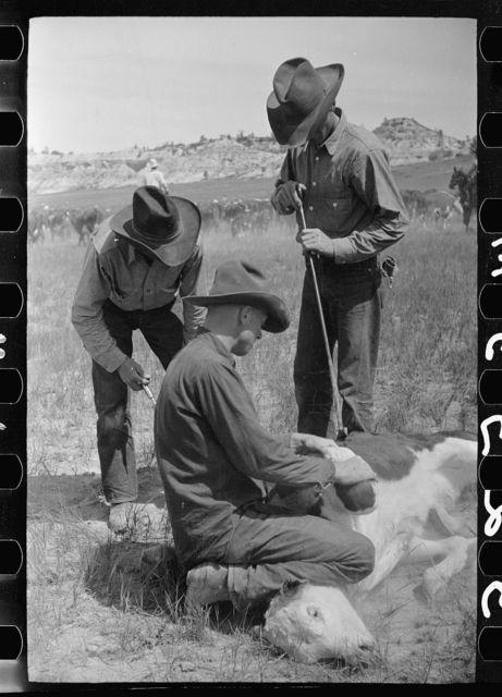 Branding a calf, Quarter Circle U roundup, Montana