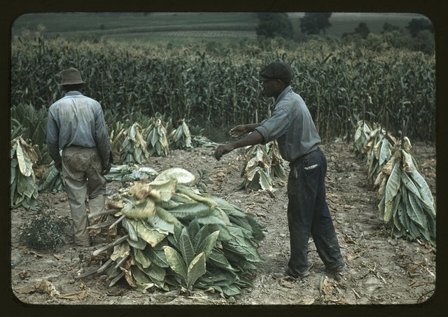 Burley tobacco is placed on sticks to wilt after cutting, before it is taken into the brn for drying and curing, on the Russell Spears' farm, vicinity of Lexington, Ky.
