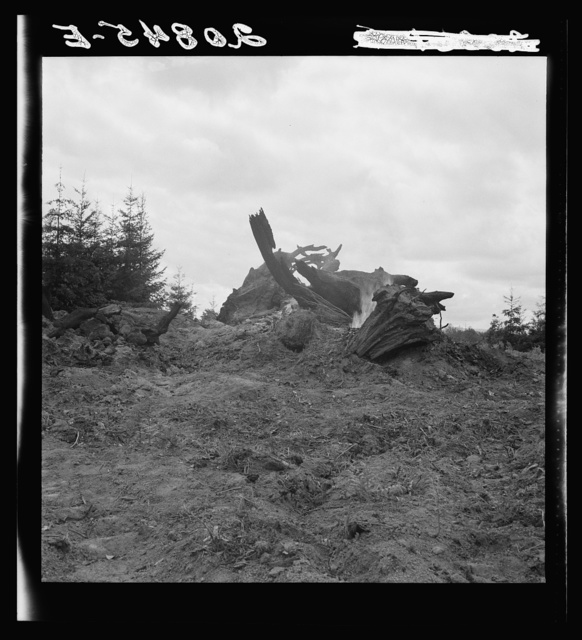 Burning stumps on the Arnold farm after the bulldozer has mown them down. Western Washington, Thurston County, Michigan Hill. See general caption number 36