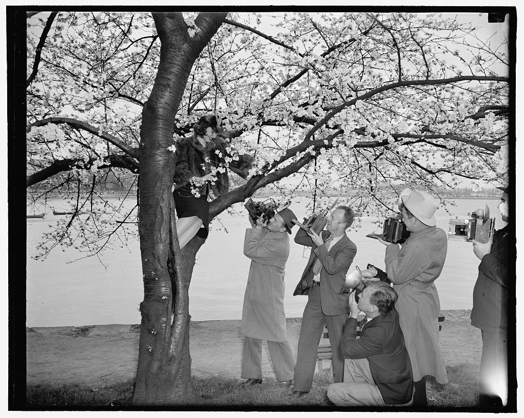 """Cameraman tree Cherry Blossom Queen. Washington, D.C., March 28. Peggy Townsend, pretty Washington Miss who will be crowned Queen of the Cherry Blossoms at appropriate ceremonies on Friday, was t'treed"""" by the photographers as she arrived to get a preview of the beautiful blooms in Potomac Park today. 3- 28-39"""