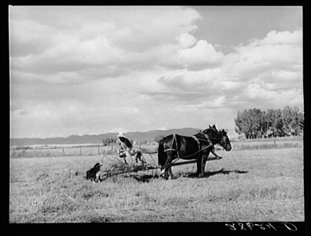 Carl Higgins, tenant purchase borrower, haying on farm. Mesa County, Colorado