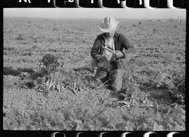 Carrot workers tying carrots into bunches in field near Santa Maria, Texas