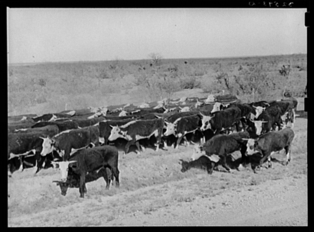 Cattle being rounded up near Eagle Pass, Texas